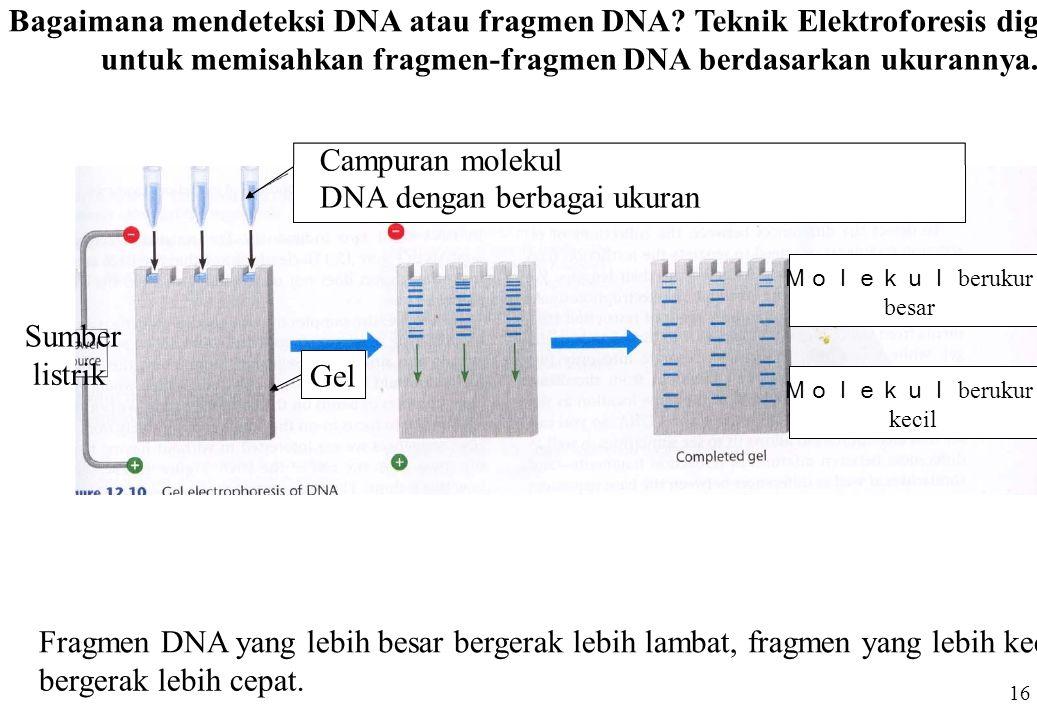 Fragmen DNA yang lebih besar bergerak lebih lambat, fragmen yang lebih kecil bergerak lebih cepat. Bagaimana mendeteksi DNA atau fragmen DNA? Teknik E