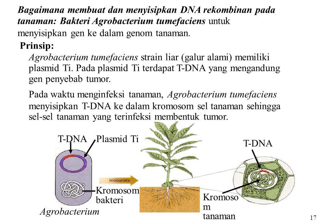 Plasmid TiT-DNA Kromosom bakteri Agrobacterium T-DNA Kromoso m tanaman Bagaimana membuat dan menyisipkan DNA rekombinan pada tanaman: Bakteri Agrobact