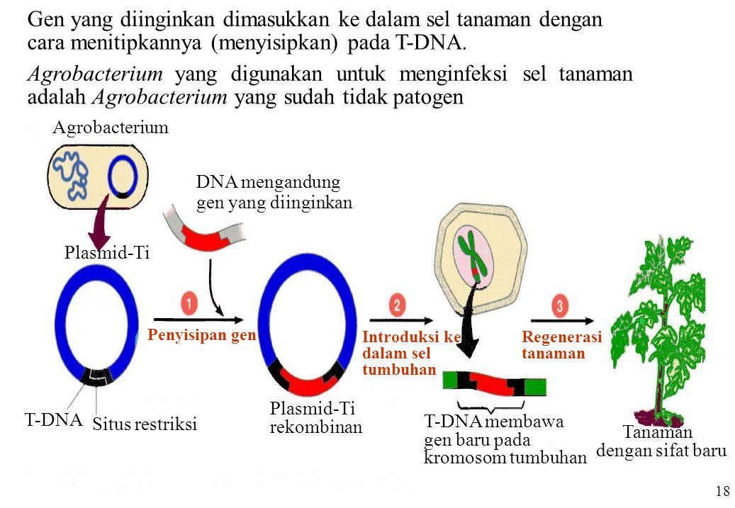 Penyisipan gen Agrobacterium DNA mengandung gen yang diinginkan Plasmid-Ti Situs restriksi T-DNA Plasmid-Ti rekombinan Introduksi ke dalam sel tumbuha