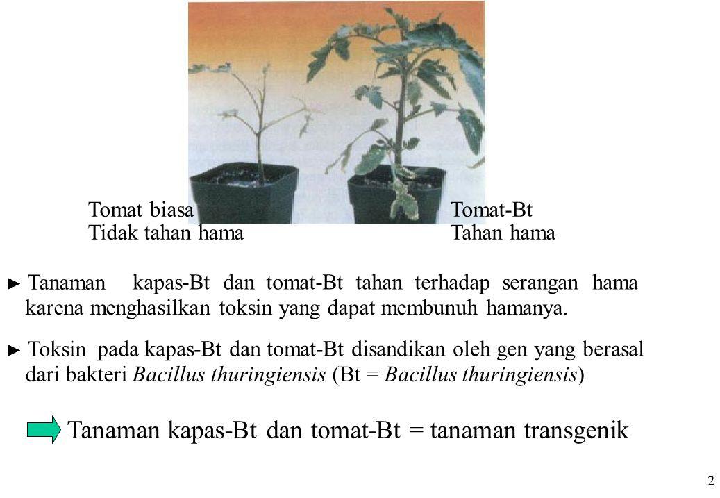 Tomat-Bt Tahan hama Tomat biasa Tidak tahan hama ► Tanaman kapas-Bt dan tomat-Bt tahan terhadap serangan hama karena menghasilkan toksin yang dapat me