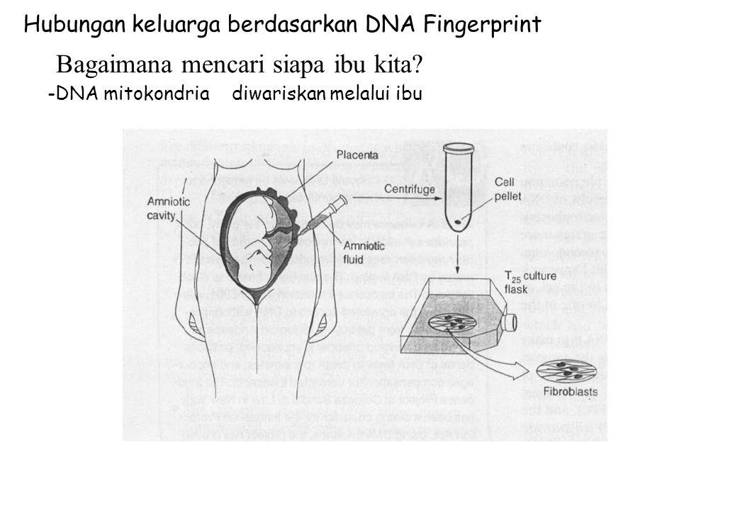 Hubungan keluarga berdasarkan DNA Fingerprint -DNA mitokondriadiwariskan melalui ibu Bagaimana mencari siapa ibu kita?