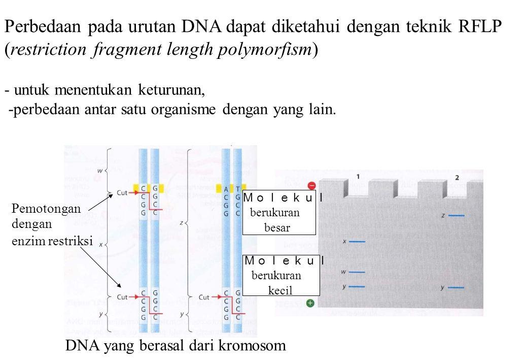 Perbedaan pada urutan DNA dapat diketahui dengan teknik RFLP (restriction fragment length polymorfism) - untuk menentukan keturunan, -perbedaan antar