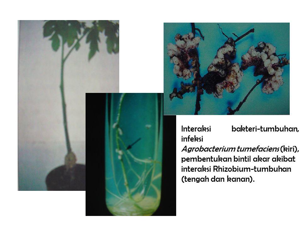 Interaksi bakteri-tumbuhan, infeksi Agrobacterium tumefaciens (kiri), pembentukan bintil akar akibat interaksi Rhizobium-tumbuhan (tengah dan kanan).
