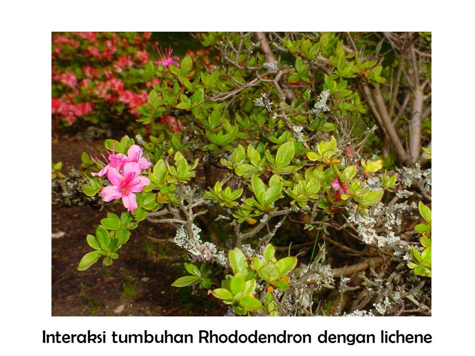 Interaksi tumbuhan Rhododendron dengan lichene