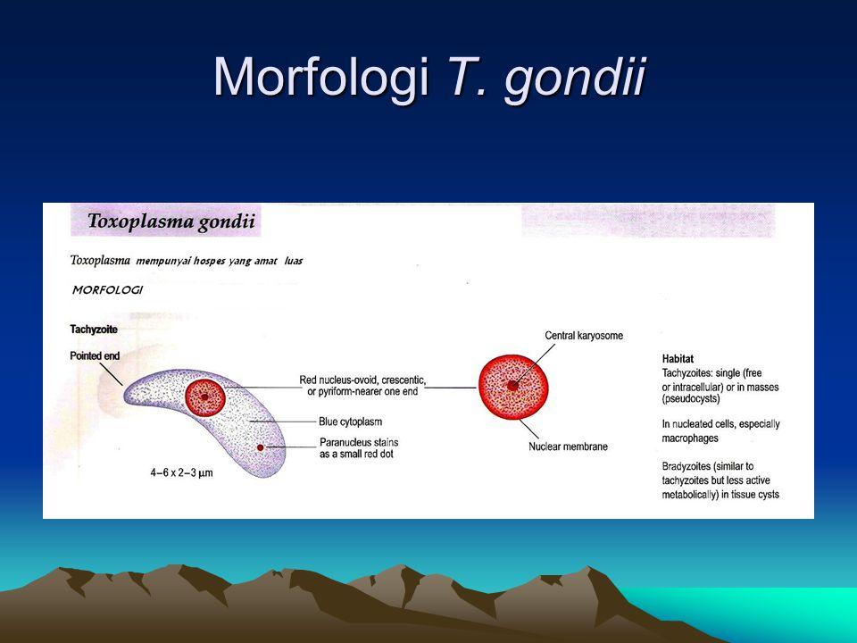 Morfologi T. gondii