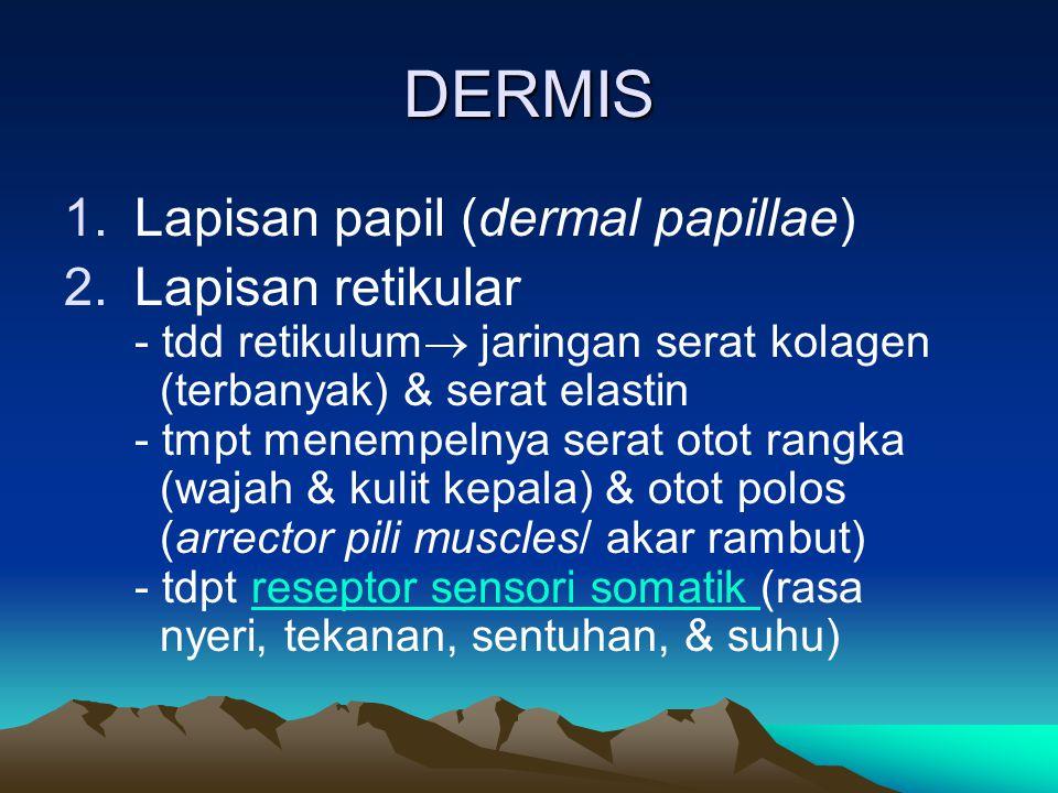 DERMIS 1.Lapisan papil (dermal papillae) 2.Lapisan retikular - tdd retikulum  jaringan serat kolagen (terbanyak) & serat elastin - tmpt menempelnya s