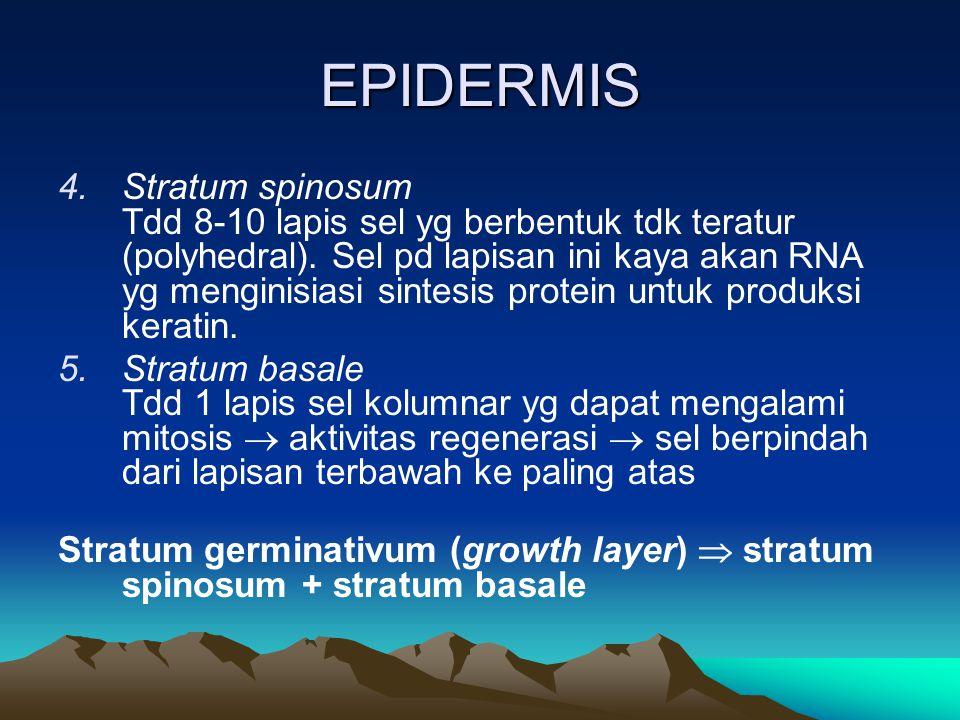 EPIDERMIS 4.Stratum spinosum Tdd 8-10 lapis sel yg berbentuk tdk teratur (polyhedral). Sel pd lapisan ini kaya akan RNA yg menginisiasi sintesis prote