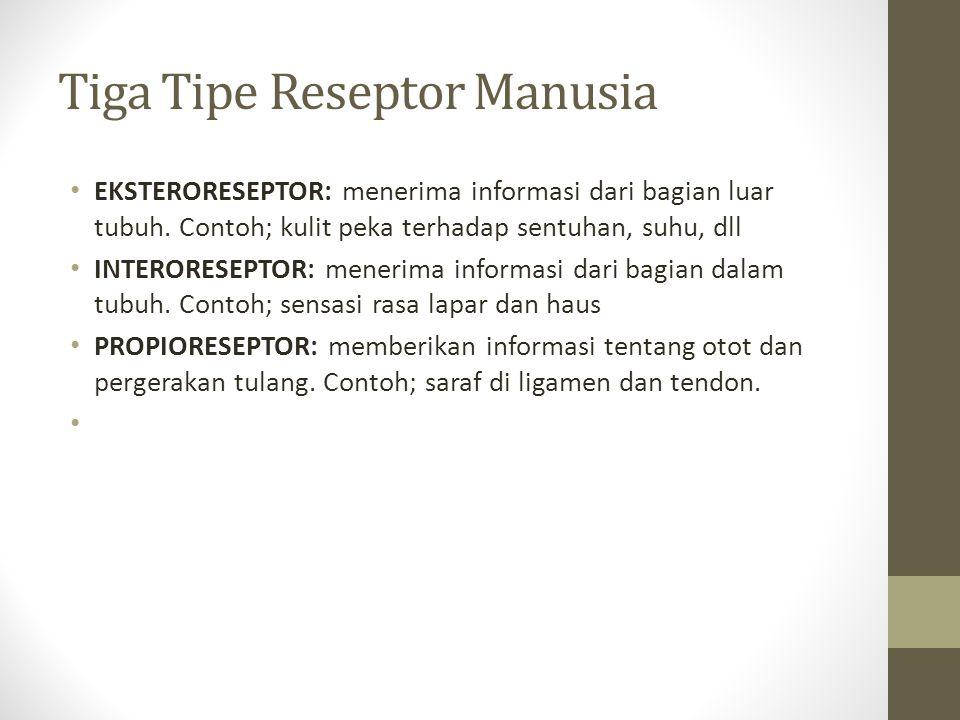 Tiga Tipe Reseptor Manusia EKSTERORESEPTOR: menerima informasi dari bagian luar tubuh. Contoh; kulit peka terhadap sentuhan, suhu, dll INTERORESEPTOR: