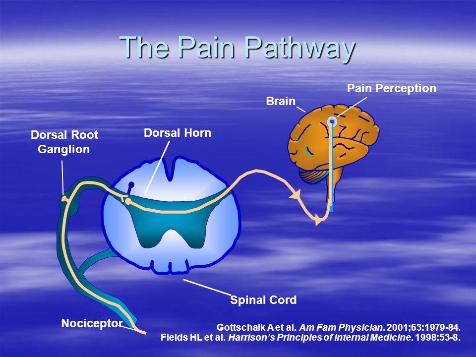 The Pain Pathway Pain Perception Brain Dorsal Root Ganglion Dorsal Horn Nociceptor Spinal Cord Gottschalk A et al. Am Fam Physician. 2001;63:1979-84.