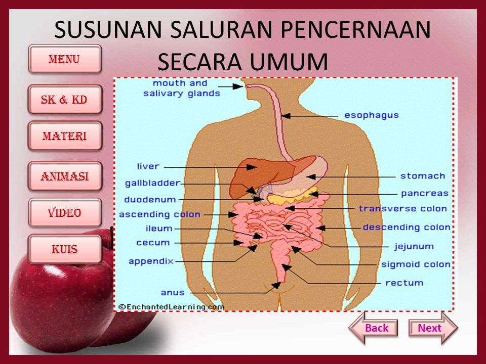 MENU SK & KD KUIS ANIMASI MATERI ViDEO Sistem pencernaan makanan pada manusia terdiri dari beberapa organ, berturut-turut dimulai dari 1.
