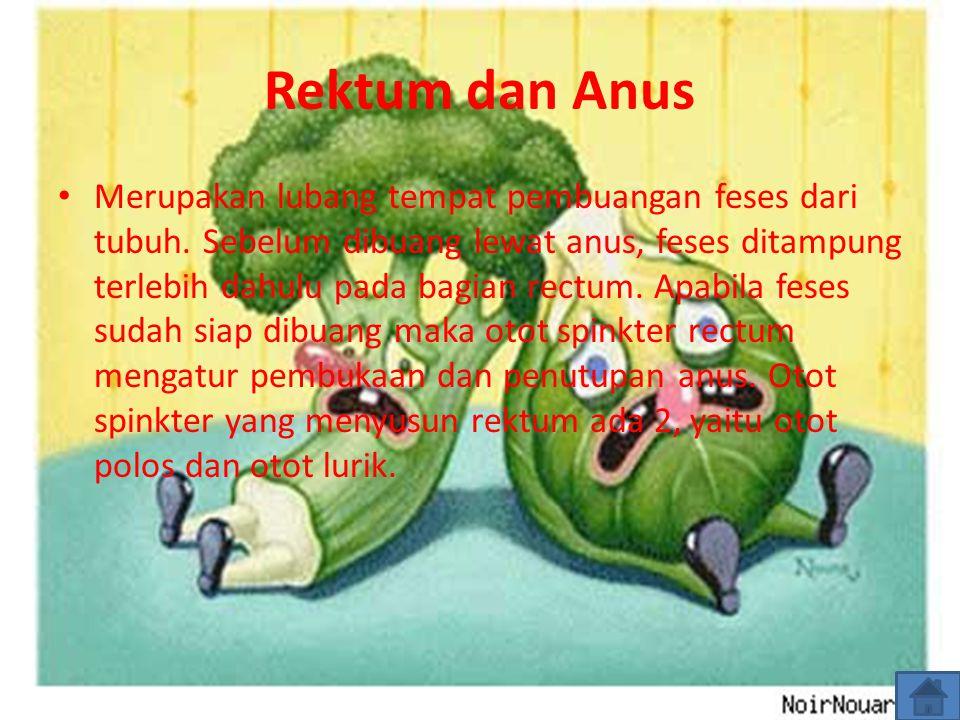 Rektum dan Anus Merupakan lubang tempat pembuangan feses dari tubuh. Sebelum dibuang lewat anus, feses ditampung terlebih dahulu pada bagian rectum. A