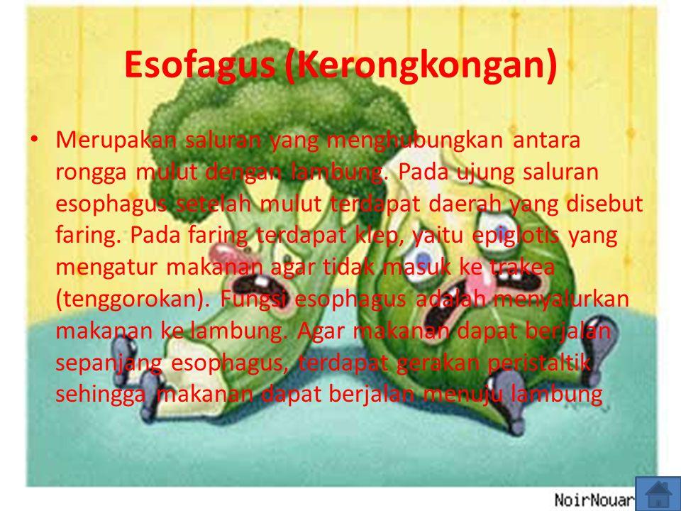 Esofagus (Kerongkongan) Merupakan saluran yang menghubungkan antara rongga mulut dengan lambung. Pada ujung saluran esophagus setelah mulut terdapat d