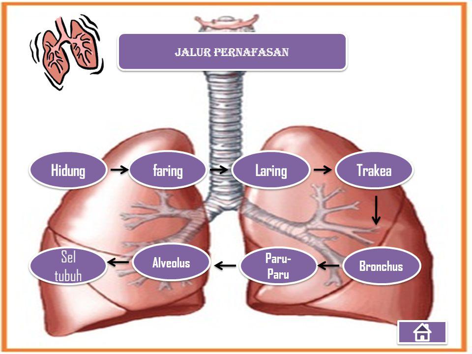 JALUR PERNAFASAN Hidung faring Laring Trakea Bronchus Paru- Paru Alveolus Sel tubuh