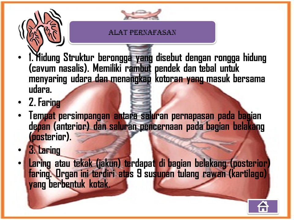 1. Hidung Struktur berongga yang disebut dengan rongga hidung (cavum nasalis). Memiliki rambut pendek dan tebal untuk menyaring udara dan menangkap ko