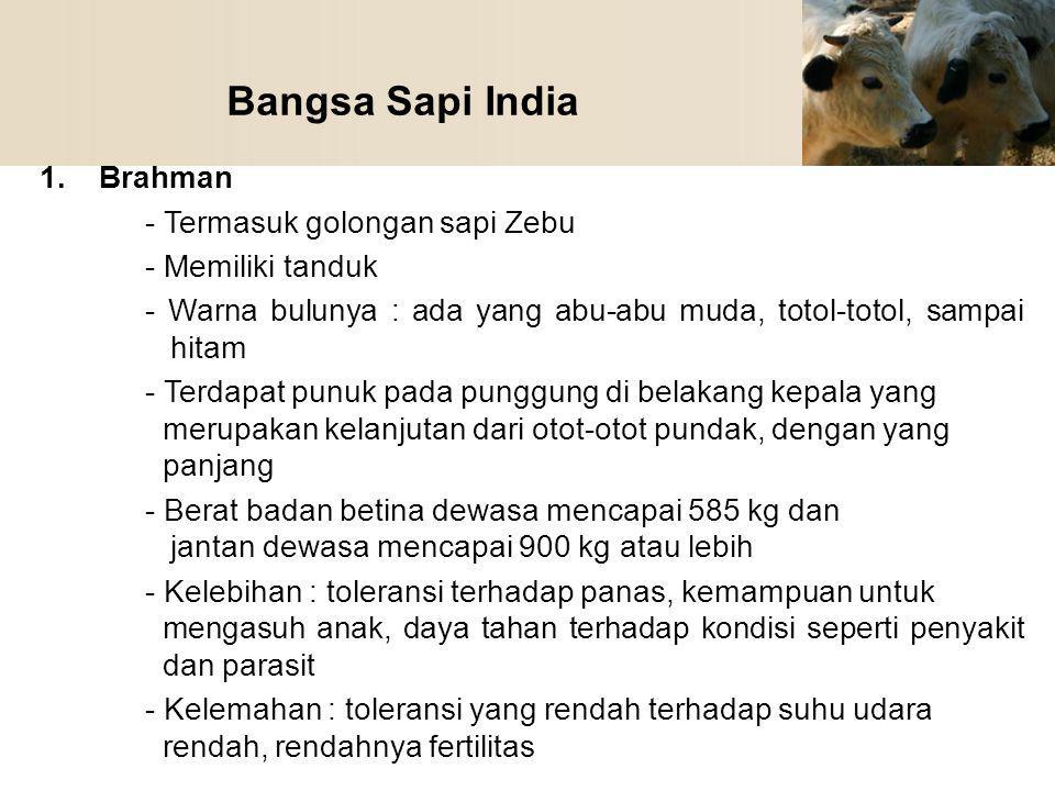 Bangsa Sapi India 1.Brahman - Termasuk golongan sapi Zebu - Memiliki tanduk - Warna bulunya : ada yang abu-abu muda, totol-totol, sampai hitam - Terda