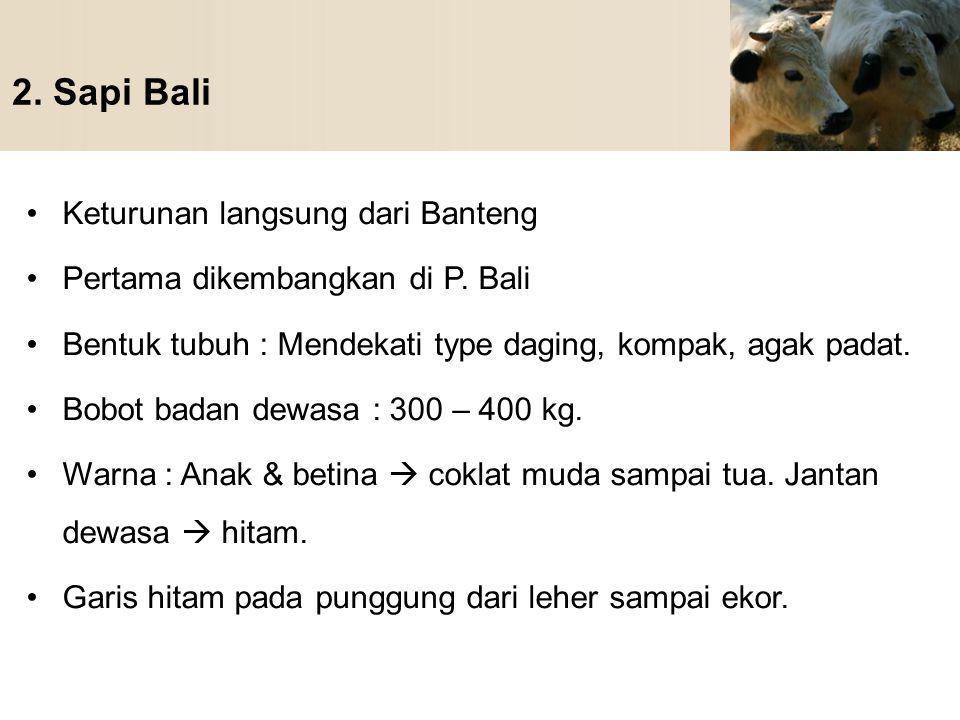 2. Sapi Bali Keturunan langsung dari Banteng Pertama dikembangkan di P. Bali Bentuk tubuh : Mendekati type daging, kompak, agak padat. Bobot badan dew
