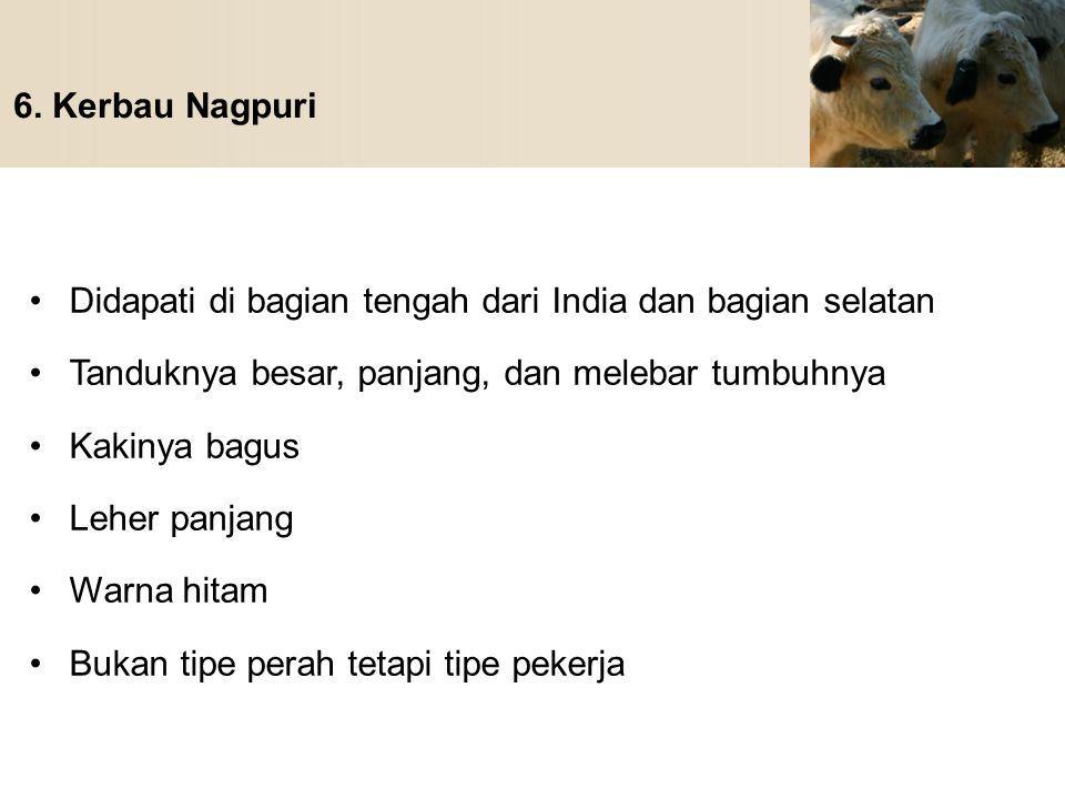 6. Kerbau Nagpuri Didapati di bagian tengah dari India dan bagian selatan Tanduknya besar, panjang, dan melebar tumbuhnya Kakinya bagus Leher panjang