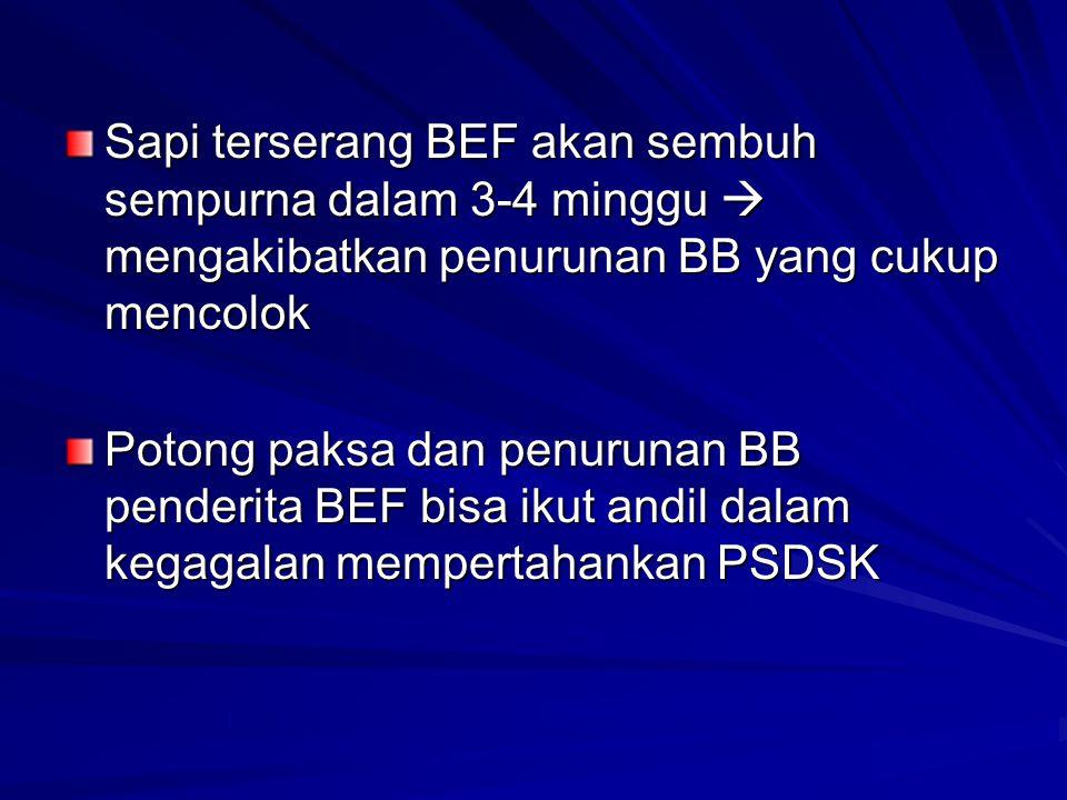 Sapi terserang BEF akan sembuh sempurna dalam 3-4 minggu  mengakibatkan penurunan BB yang cukup mencolok Potong paksa dan penurunan BB penderita BEF bisa ikut andil dalam kegagalan mempertahankan PSDSK