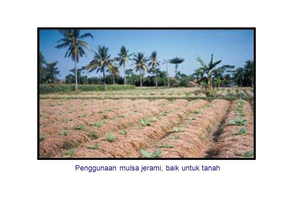 Penggunaan mulsa jerami, baik untuk tanah