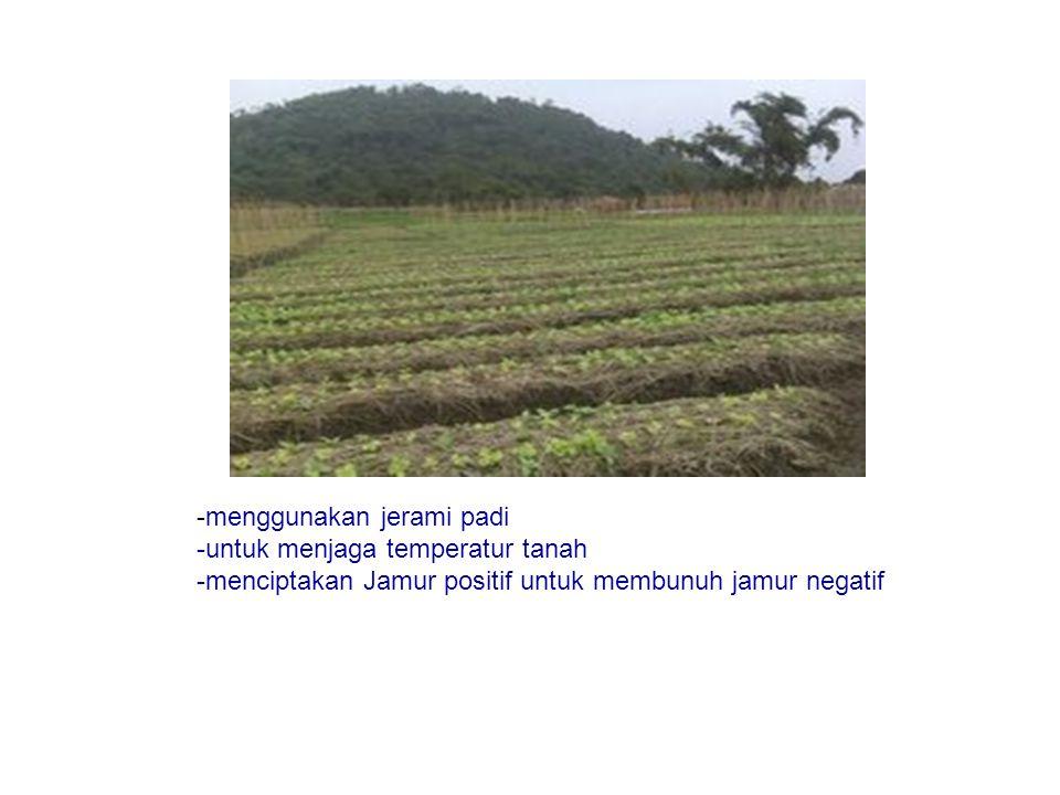 -menggunakan jerami padi -untuk menjaga temperatur tanah -menciptakan Jamur positif untuk membunuh jamur negatif