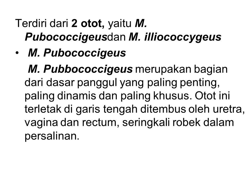 Terdiri dari 2 otot, yaitu M. Pubococcigeusdan M. illiococcygeus M. Pubococcigeus M. Pubbococcigeus merupakan bagian dari dasar panggul yang paling pe
