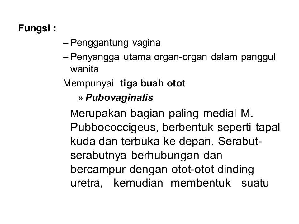 Fungsi : –Penggantung vagina –Penyangga utama organ-organ dalam panggul wanita Mempunyai tiga buah otot »Pubovaginalis M erupakan bagian paling medial