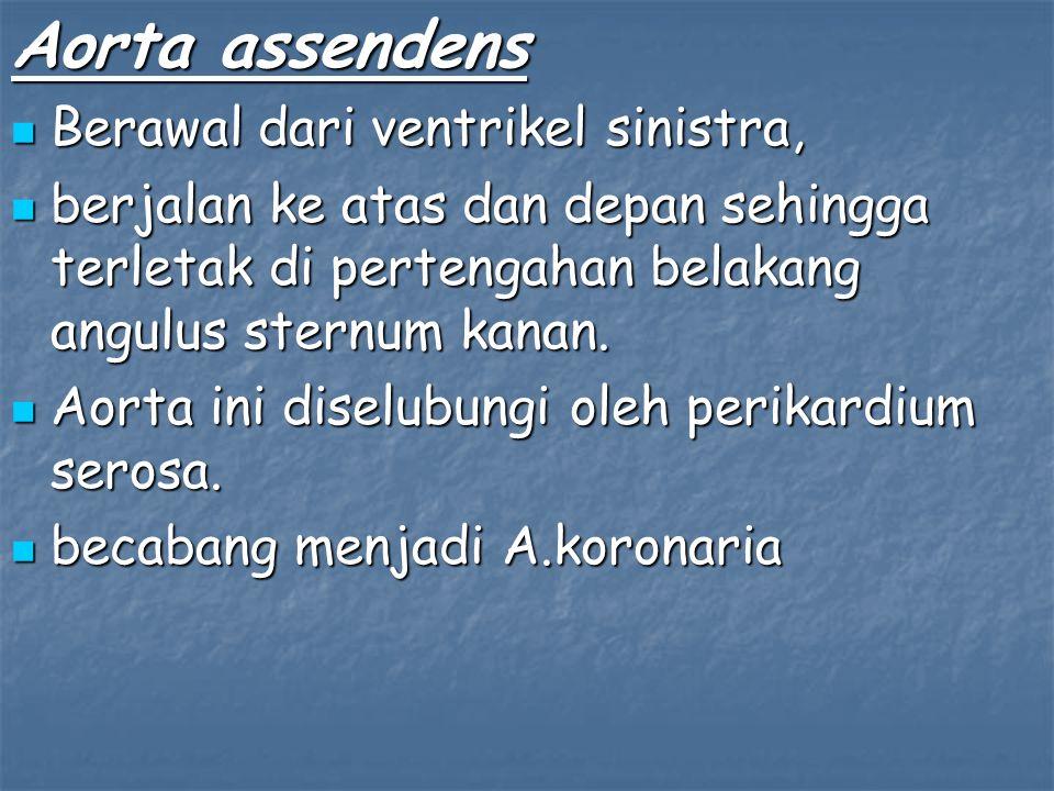 Aorta assendens Berawal dari ventrikel sinistra, Berawal dari ventrikel sinistra, berjalan ke atas dan depan sehingga terletak di pertengahan belakang angulus sternum kanan.