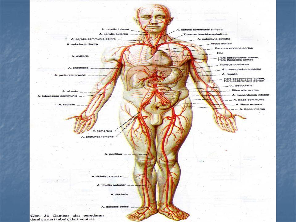 Menurut peredaran darah : Peredaran darah kecil : darah dari jantung ventrikel dekstra → valvula semiulnaris → arteri pulmonalis → paru-paru kiri dan kanan → vena pulmonalis → atrium sinistra Peredaran darah besar : darah dari jantung bagian ventrikel sinistra → valvula semiulnaris aorta → aorta → arteri → arteriole → kapiler arteri → kapiler vena → venolus → vena kava → atrium dekstra.