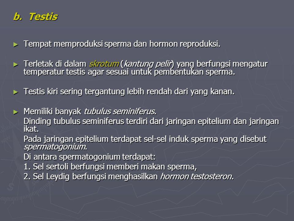 b. Testis ► Tempat memproduksi sperma dan hormon reproduksi. ► Terletak di dalam skrotum (kantung pelir) yang berfungsi mengatur temperatur testis aga