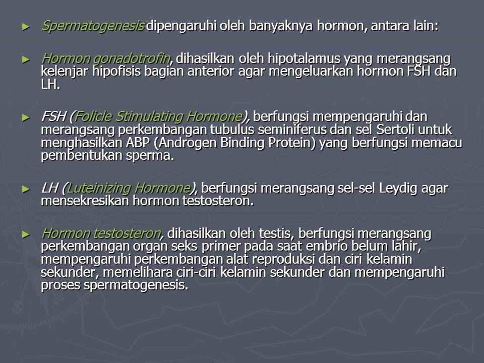 ► Spermatogenesis dipengaruhi oleh banyaknya hormon, antara lain: ► Hormon gonadotrofin, dihasilkan oleh hipotalamus yang merangsang kelenjar hipofisi