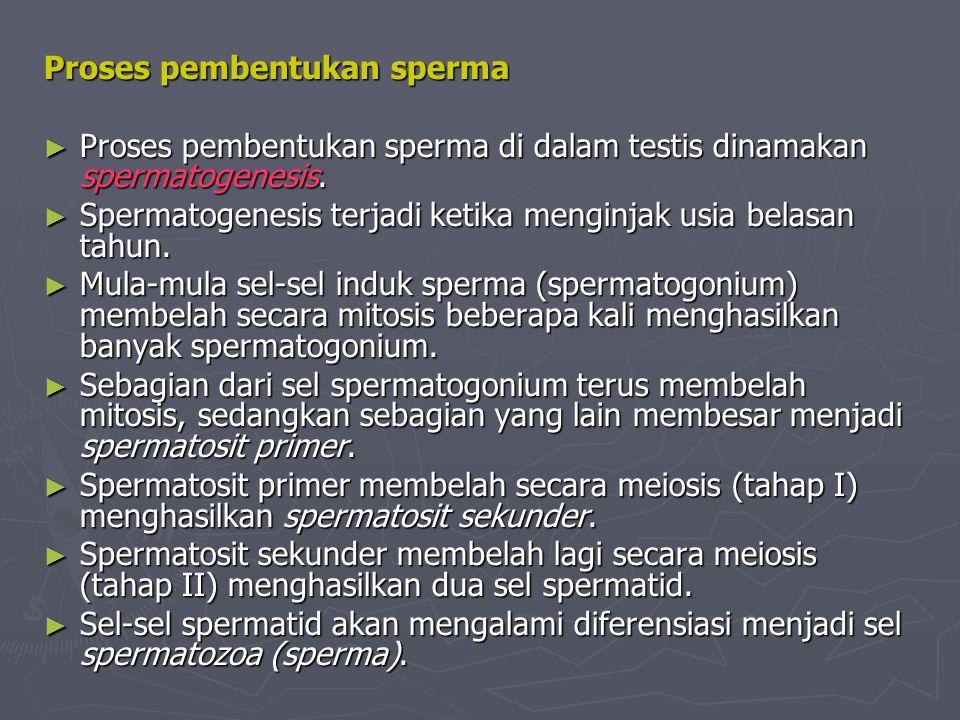 Proses pembentukan sperma Proses pembentukan sperma ► Proses pembentukan sperma di dalam testis dinamakan spermatogenesis. ► Spermatogenesis terjadi k