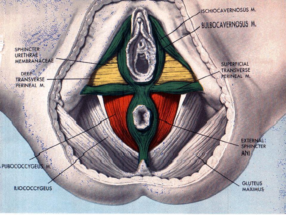 FASIA ENDOPELVIS  Lapisan fibromuskuler  Ligamen   Sakrouterina  Kardinale Fasia puboservikalis dan rektovaginal penting pada koreksi bedah