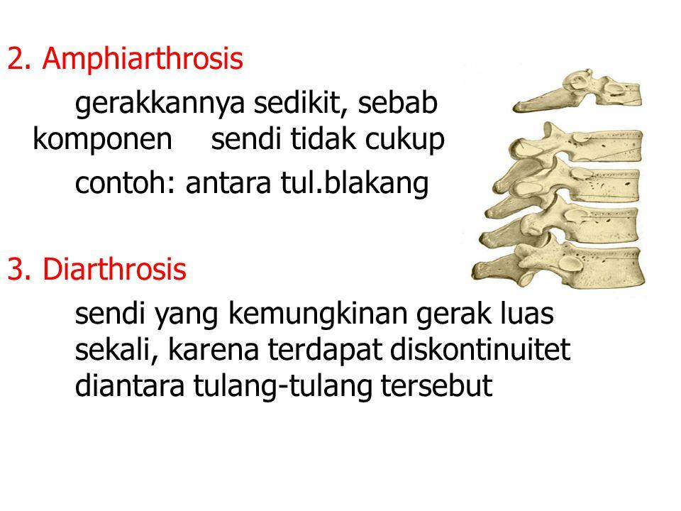 2. Amphiarthrosis gerakkannya sedikit, sebab komponen sendi tidak cukup contoh: antara tul.blakang 3. Diarthrosis sendi yang kemungkinan gerak luas se