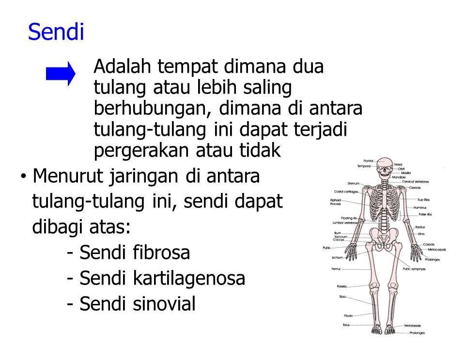 Sendi Adalah tempat dimana dua tulang atau lebih saling berhubungan, dimana di antara tulang-tulang ini dapat terjadi pergerakan atau tidak Menurut jaringan di antara tulang-tulang ini, sendi dapat dibagi atas: - Sendi fibrosa - Sendi kartilagenosa - Sendi sinovial
