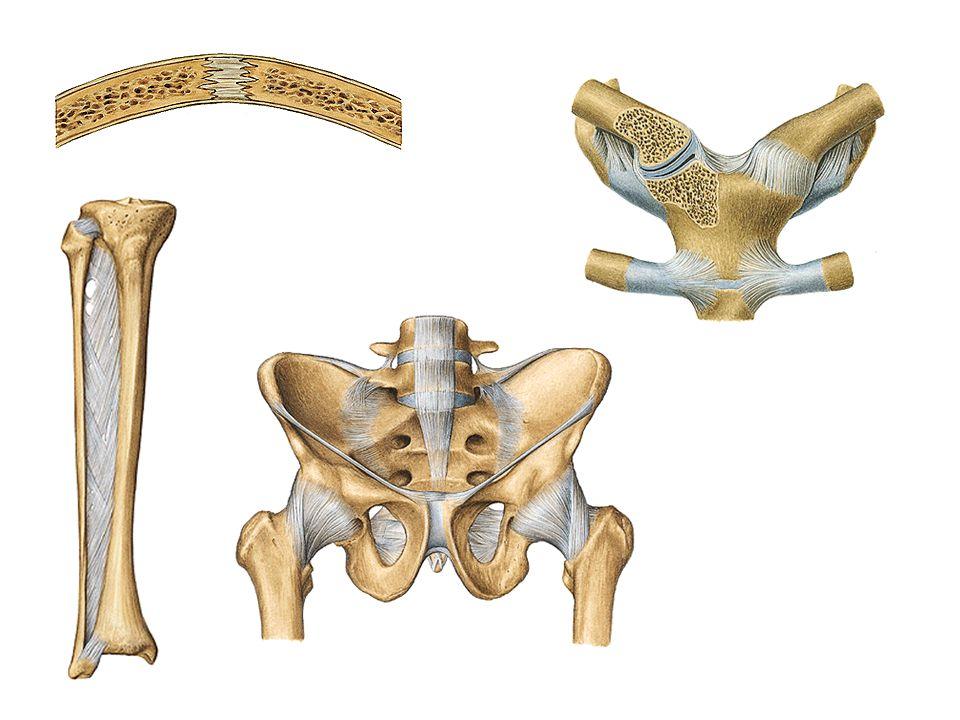 Gomphosis tulang yang satu berbentuk kerucut masuk kelekuk yang sesuai dengan bentuk itu contoh: gigi dengan acuroli, os.