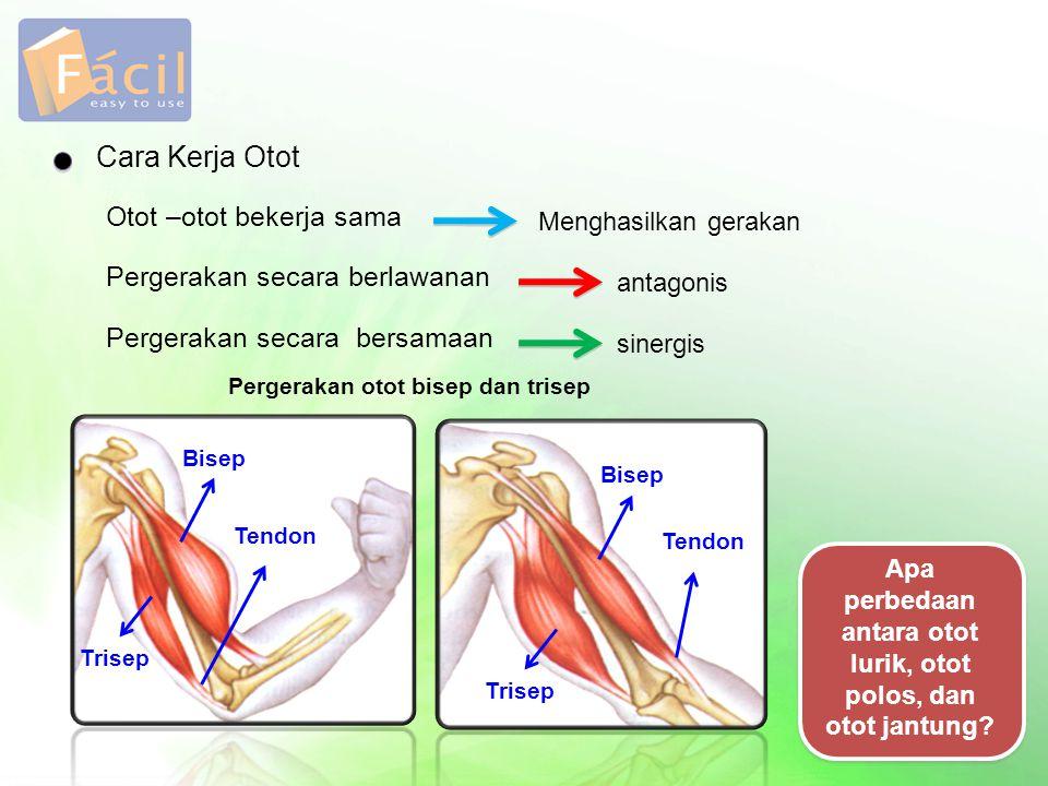 Cara Kerja Otot Otot –otot bekerja sama Menghasilkan gerakan Pergerakan secara berlawanan antagonis Pergerakan secara bersamaan sinergis Pergerakan ot