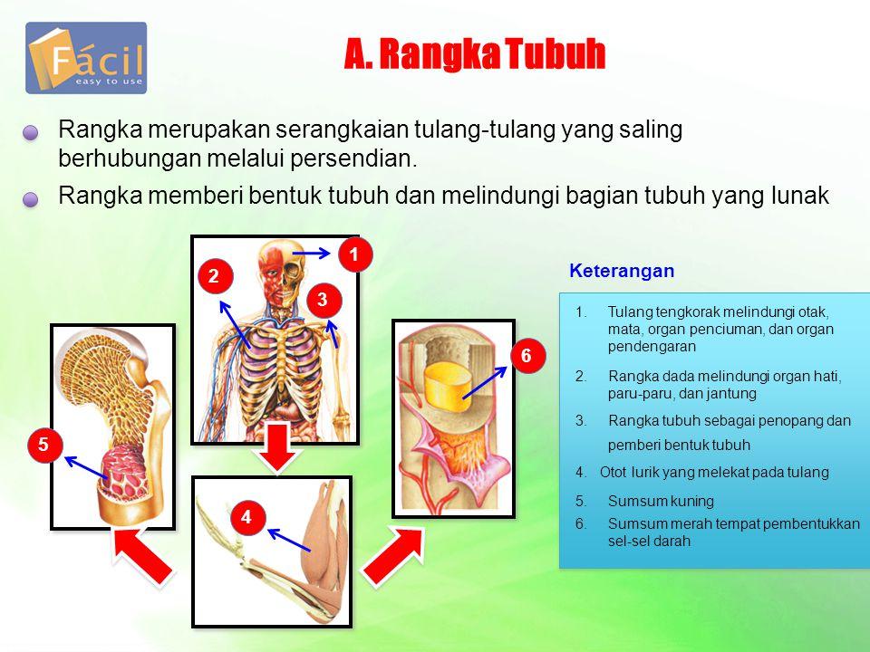 A. Rangka Tubuh Rangka merupakan serangkaian tulang-tulang yang saling berhubungan melalui persendian. Rangka memberi bentuk tubuh dan melindungi bagi