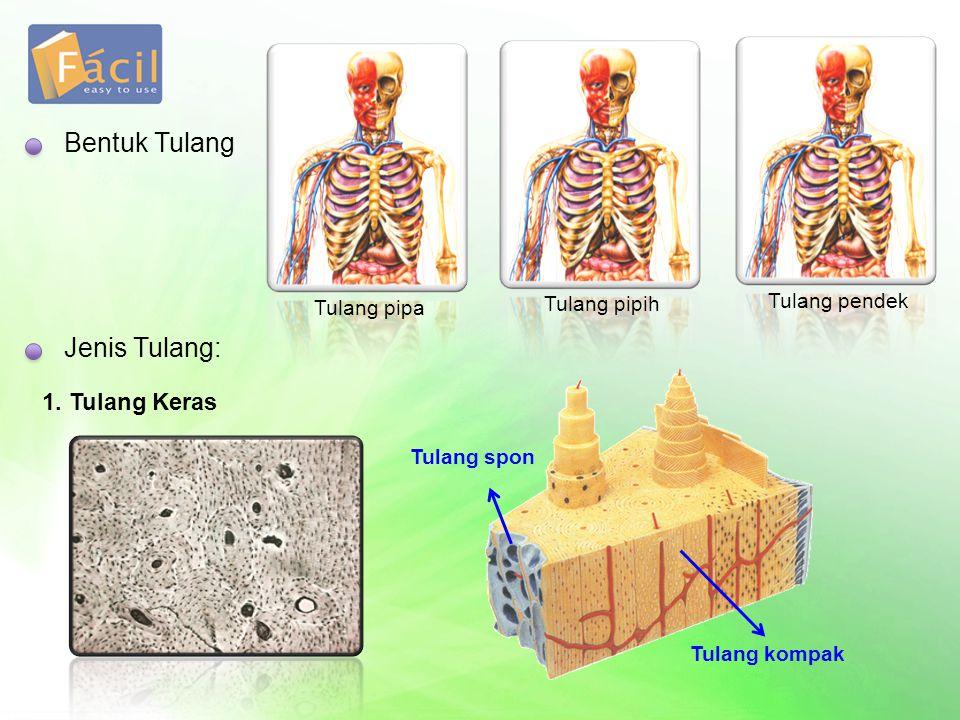 Bentuk Tulang Tulang pipa Tulang pipih Tulang pendek Jenis Tulang: 1. Tulang Keras Tulang spon Tulang kompak