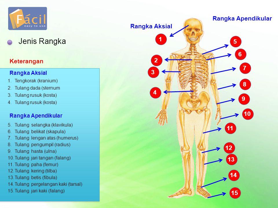 Jenis Rangka 1 Rangka Aksial Keterangan 1.Tengkorak (kranium) 2 2.Tulang dada (sternum 3 3.Tulang rusuk (kosta) 4 4.Tulang rusuk (kosta) Rangka Apendi