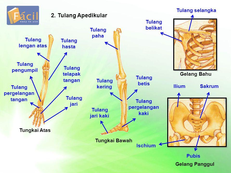 2. Tulang Apedikular Tungkai Atas Tungkai Bawah Tulang lengan atas Tulang pengumpil Tulang pergelangan tangan Tulang hasta Tulang telapak tangan Tulan