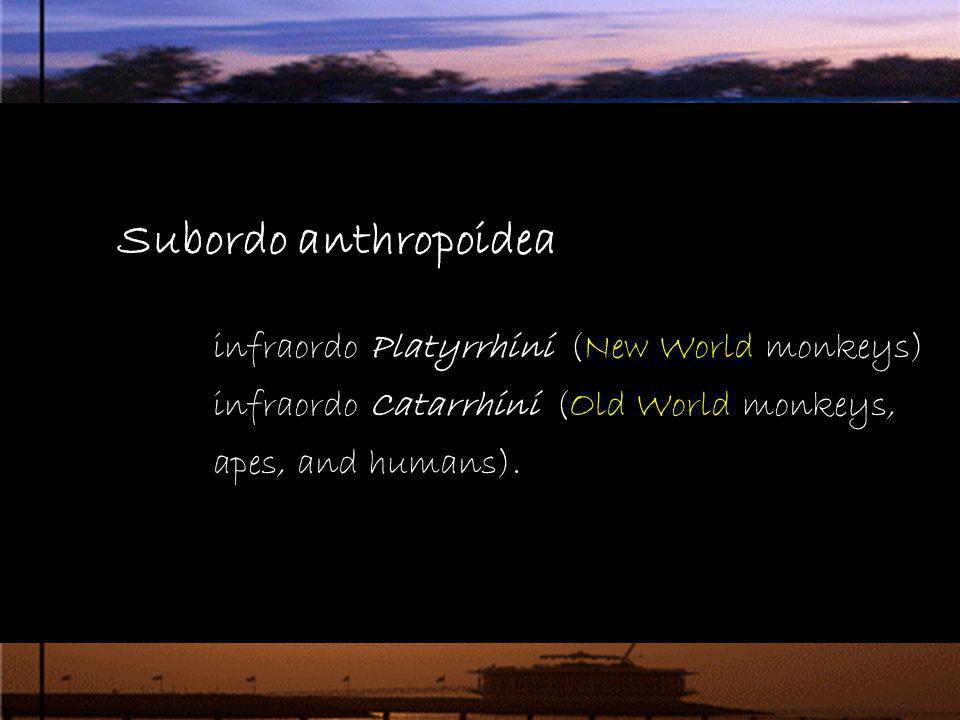 Subordo anthropoidea infraordo Platyrrhini (New World monkeys) infraordo Catarrhini (Old World monkeys, apes, and humans)..
