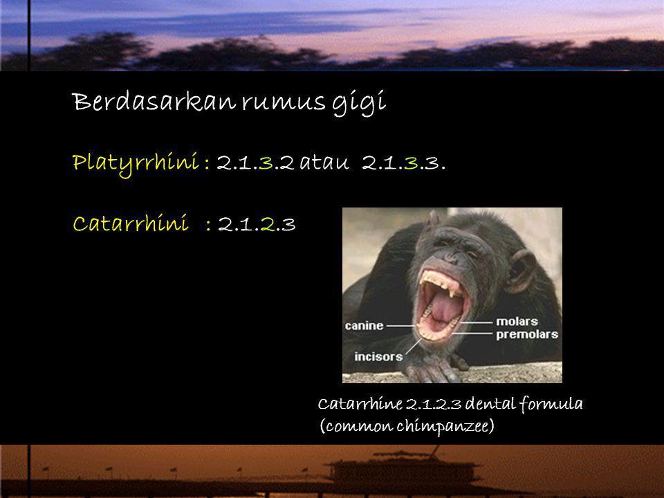 Berdasarkan rumus gigi Platyrrhini : 2.1.3.2 atau 2.1.3.3. Catarrhini: 2.1.2.3 Catarrhine 2.1.2.3 dental formula (common chimpanzee)