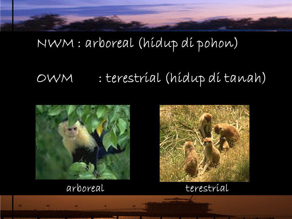 NWM : arboreal (hidup di pohon) OWM : terestrial (hidup di tanah) arborealterestrial