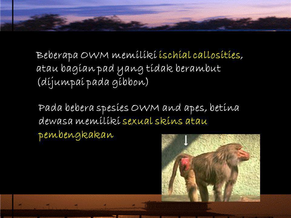 Beberapa OWM memiliki ischial callosities, atau bagian pad yang tidak berambut (dijumpai pada gibbon) Pada bebera spesies OWM and apes, betina dewasa