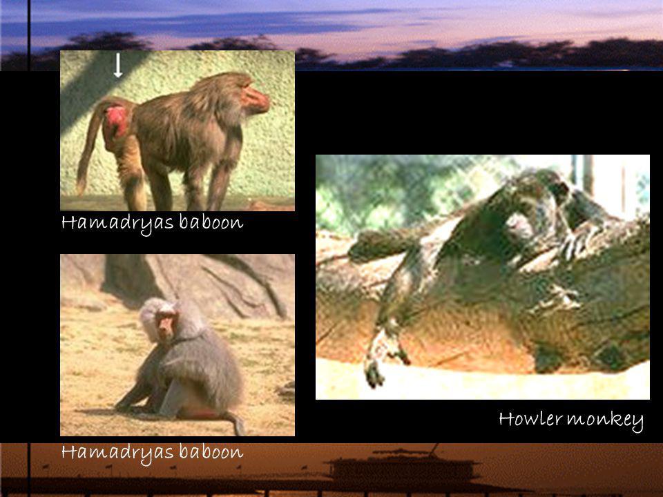 Howler monkey Hamadryas baboon