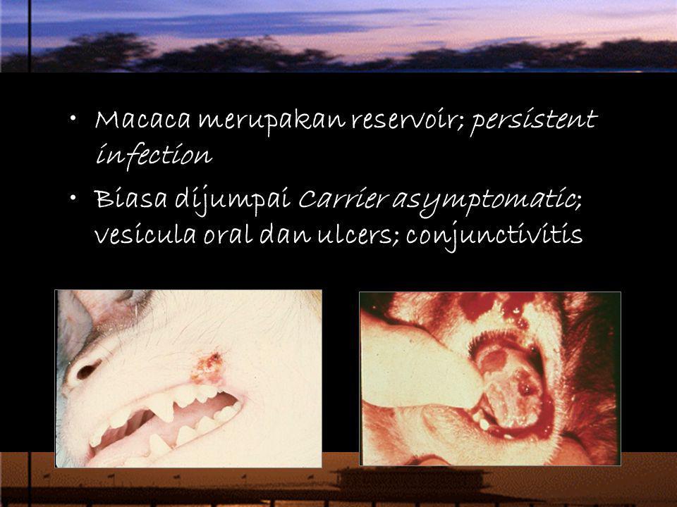 Macaca merupakan reservoir; persistent infection Biasa dijumpai Carrier asymptomatic; vesicula oral dan ulcers; conjunctivitis