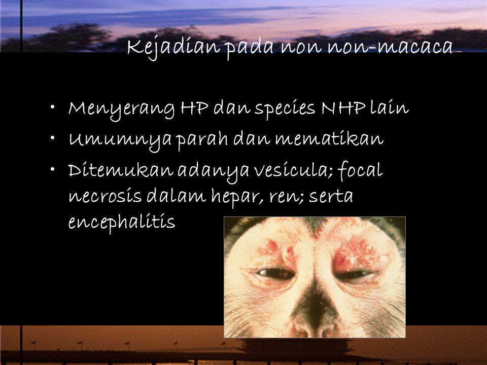 Kejadian pada non non-macaca Menyerang HP dan species NHP lain Umumnya parah dan mematikan Ditemukan adanya vesicula; focal necrosis dalam hepar, ren;