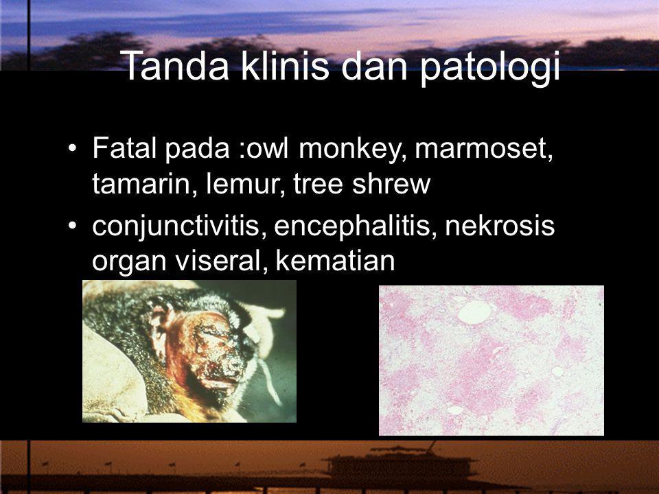 Tanda klinis dan patologi Fatal pada :owl monkey, marmoset, tamarin, lemur, tree shrew conjunctivitis, encephalitis, nekrosis organ viseral, kematian