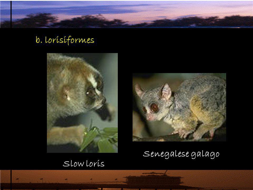 b. lorisiformes Slow loris Senegalese galago