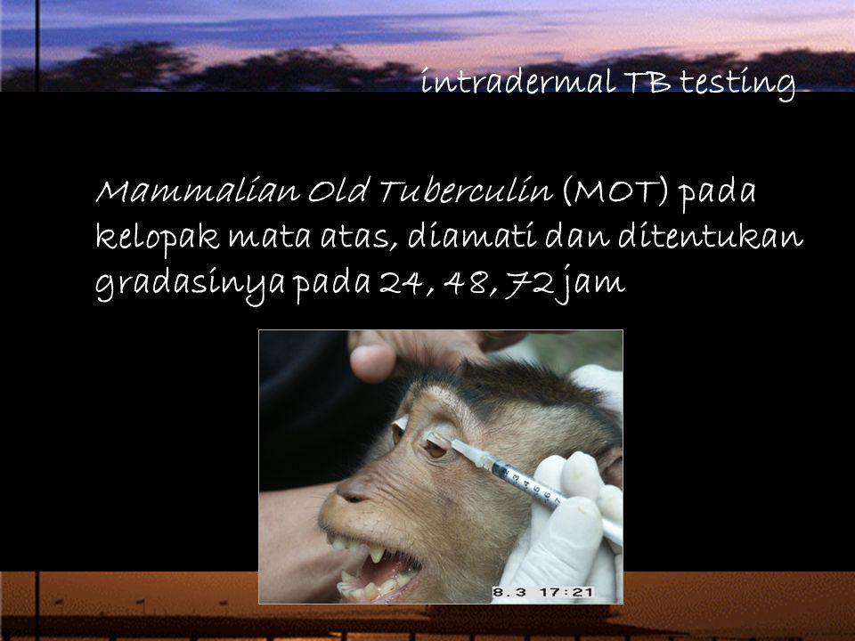 intradermal TB testing Mammalian Old Tuberculin (MOT) pada kelopak mata atas, diamati dan ditentukan gradasinya pada 24, 48, 72 jam